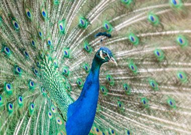 peacock-unsplash